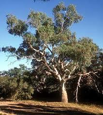 Eucalyptus_camaldulensis