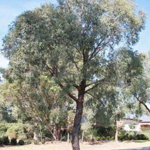 Narrow-Leaf Peppermint