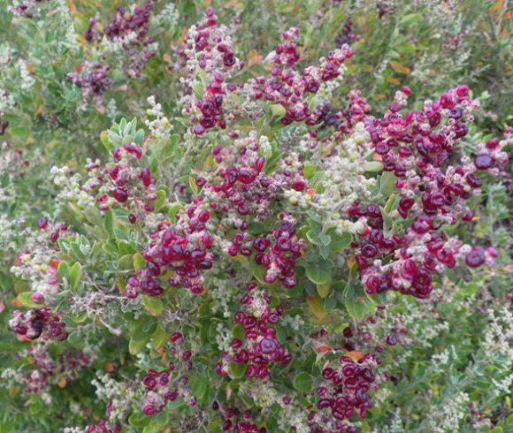 Seaberry Saltbush